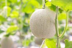 Зеленые дыни или дыни канталупы засаживают расти в парнике Стоковые Фотографии RF