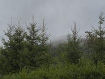 Зеленые елевые лес и кусты дерева после дождя в сильном тумане Стоковая Фотография RF