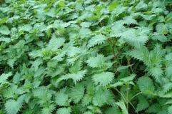 Зеленые естественные красивые стрекательные крапивы Стоковые Изображения RF