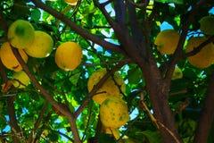 Зеленые желтые лимоны вися на дереве Стоковая Фотография RF