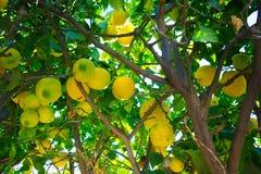 Зеленые желтые лимоны вися на дереве Стоковые Фото
