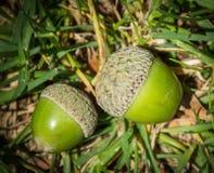 Зеленые жолуди лежа на траве Стоковые Фотографии RF