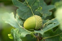 Зеленые жолудь или beechnut растя в дубе Стоковые Фото