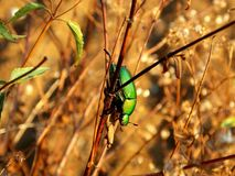 Зеленые жук и трава скарабея стоковое фото rf