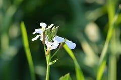 Зеленые заводы мустарда с их цветками стоковое фото