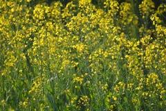Зеленые заводы мустарда с их цветками стоковая фотография rf