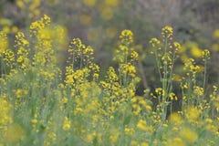 Зеленые заводы мустарда с их цветками стоковые изображения