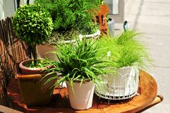 зеленые заводы potted Стоковая Фотография