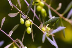Зеленые зрея оливки, конец вверх по vew Стоковые Изображения