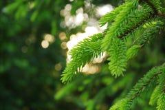 зеленые иглы съели в свете выравниваясь солнца стоковые изображения rf