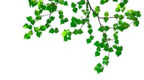 Зеленые изолированные листья Стоковые Изображения