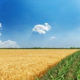 зеленые и золотые поля земледелия цветов и голубое небо Стоковые Фотографии RF