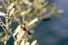 Зеленые и темные оливки на дереве Стоковые Изображения