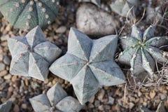Зеленые кактусы Astrophytum на деревенской предпосылке Тонизированный год сбора винограда стоковые изображения rf
