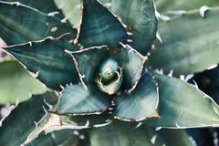 Зеленые кактусы succulents Конец-вверх Справочная информация завод тропический стоковое фото