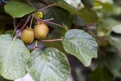 Зеленые кивиы зреют на дереве Кивиы на ветви стоковая фотография rf