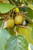 Зеленые кивиы зреют на дереве Кивиы на ветви стоковые изображения
