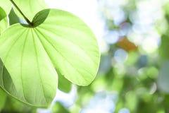 Зеленые кленовые листы в черной предпосылке bokeh Стоковое фото RF