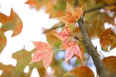Зеленые кленовые листы в черной предпосылке bokeh Стоковые Изображения RF