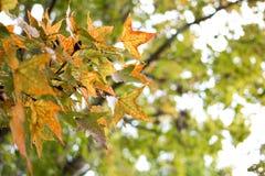 Зеленые кленовые листы в черной предпосылке bokeh Стоковые Изображения