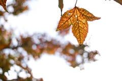 Зеленые кленовые листы в черной предпосылке bokeh Стоковая Фотография