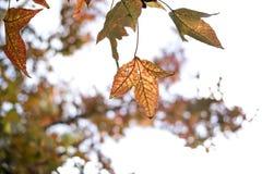 Зеленые кленовые листы в черной предпосылке bokeh Стоковое Изображение