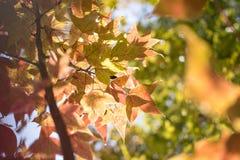 Зеленые кленовые листы в черной предпосылке bokeh Стоковые Фото