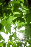 Зеленые кленовые листы в черной предпосылке bokeh Стоковое Изображение RF