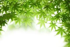 Зеленые кленовые листы Стоковые Изображения