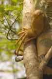 Зеленые когти игуаны стоковое изображение