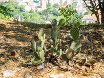 Зеленые колючие кактусы подобные ушастым figurines фантастических животных, Греции стоковые фотографии rf