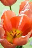 зеленые красные тюльпаны Стоковая Фотография