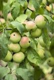 Зеленые красные яблоки растя на ветви на дереве, много плодоовощей Стоковые Изображения RF