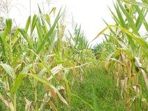 Зеленые кукурузные поля, дела производя доход, включая азиатские фермеров стоковые фото