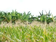 Зеленые кукурузные поля, дела производя доход, включая азиатские фермеров стоковое изображение