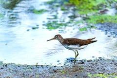 Зеленые кулик или ochropus Tringa идут на озеро стоковое фото rf