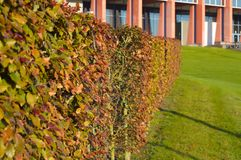 Зеленые кустарники дерева в саде на предпосылке здания Стоковые Изображения