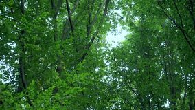 Зеленые лесные деревья против неба весной сток-видео
