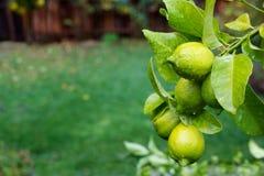 зеленые лимоны влажные стоковые изображения