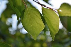 Зеленые листья абрикоса стоковое фото rf
