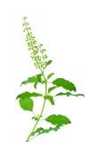 Зеленые листья базилика изолированные на белой предпосылке Стоковые Изображения RF