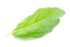 Зеленые листья базилика Стоковые Фото