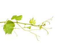Зеленые листья вина стоковые фото