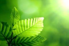 Зеленые листья в солнечности Стоковые Фотографии RF