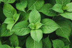 Зеленые листья гортензии с дождевыми каплями над взглядом против предпосылки голубые облака field wispy неба природы зеленого цве Стоковые Изображения