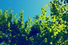 Зеленые листья дерева над голубым небом Стоковые Фотографии RF