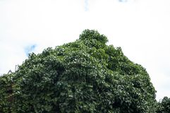 Зеленые листья дерева на небе Стоковое фото RF