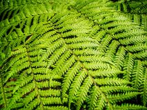 Зеленые листья дерева папоротника Стоковое Изображение RF