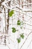 Зеленые листья завода продолжаются быть свежи и ярки на холодном утре зимы стоковая фотография rf