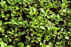 Зеленые листья изгороди Стоковые Фотографии RF